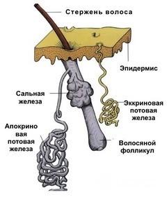 Где находятся и как работают потовые железы