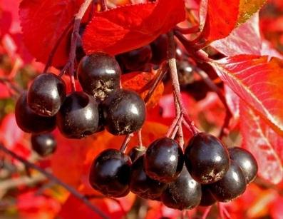 Можно ли есть черноплодную рябину при повышенном давлении?