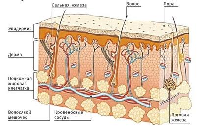 Вырастут ли волосы на голове после себорейного дерматита