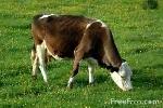 Нодулярный дерматит крупного рогатого скота в ростовской области