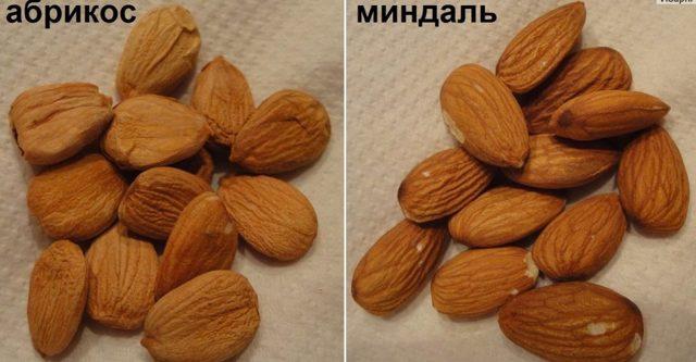 Ядро абрикоса польза и вред для организма