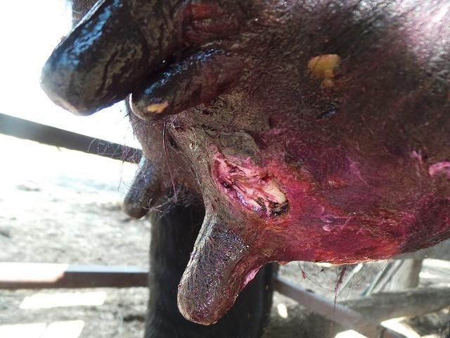 Нодулярный дерматит крупного рогатого скота в саратовской области