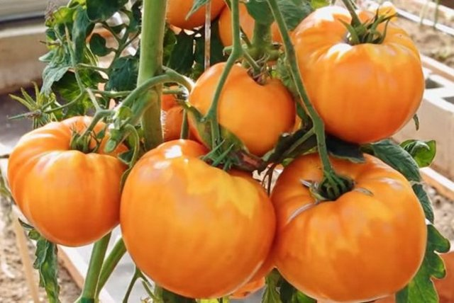 Индетерминантные ранние сорта томатов для теплиц с лучшим иммунитетом