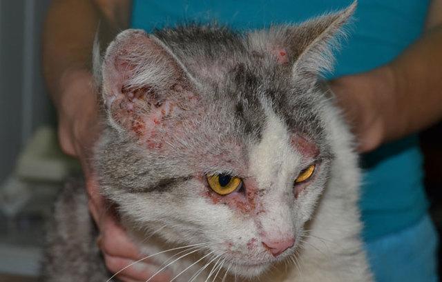 Блошиный дерматит у котов лечение в домашних условиях