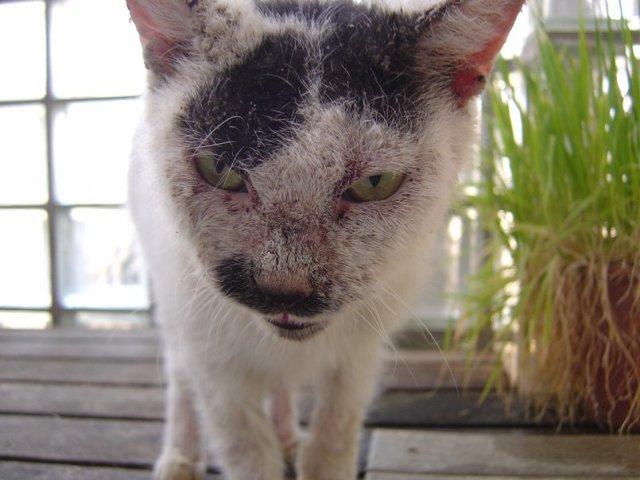 Чем лечить дерматит у кота в домашних условиях