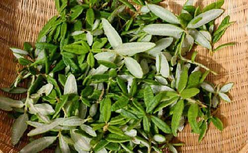 Какие травы заваривать при кашле?