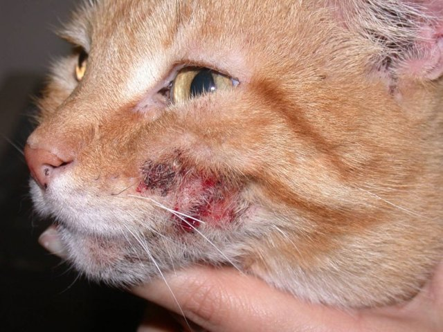 Кошачий дерматит заразен ли для людей
