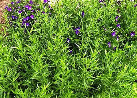 Трава тархун польза и вред для мужчин