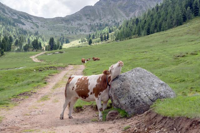 Вакцинация против нодулярного дерматита крупного рогатого скота