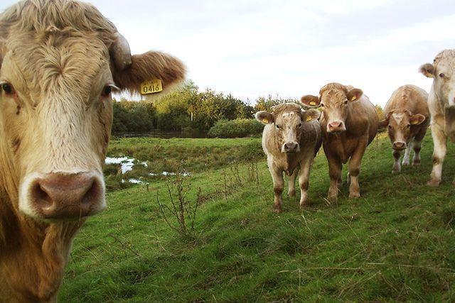 Можно ли пить молоко от коровы больной нодулярным дерматитом?