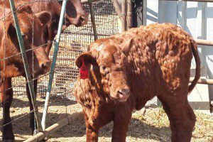 Как сбить температуру у коровы при нодулярном дерматите?