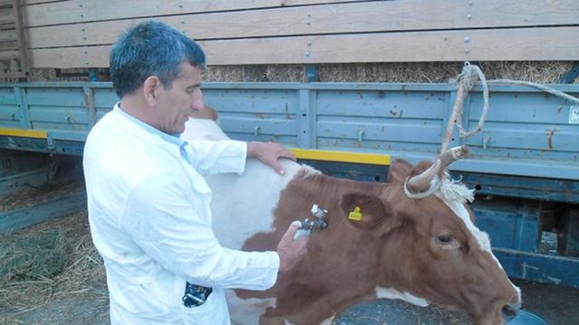 Нодулярный дерматит крупного рогатого скота в башкортостане